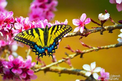 Butterfly on a Peach Blossom