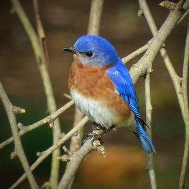 April Blue Bird