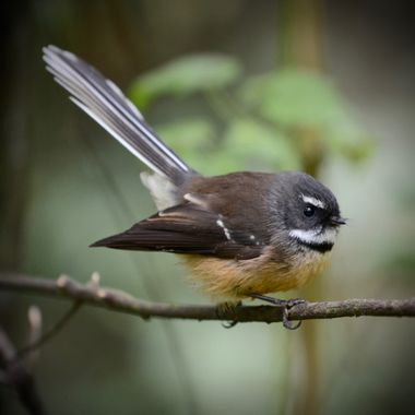Fantail3