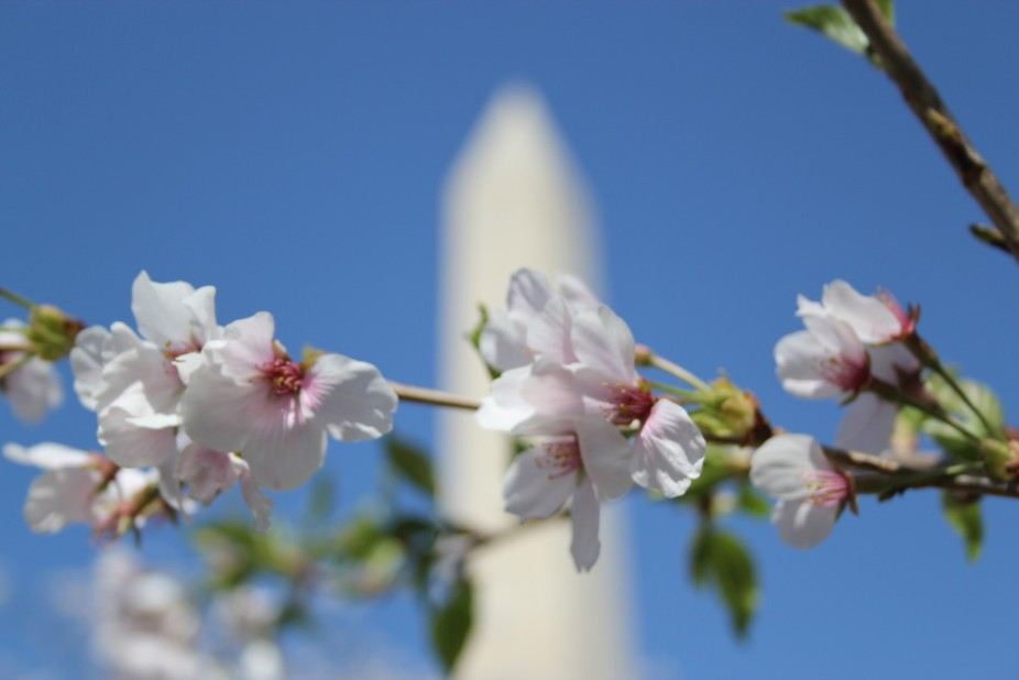 Blossoms and monument, 2