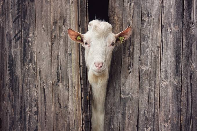 Peekaboo! by Irene_van_Nunen - Farms And Barns Animals Photo Contest