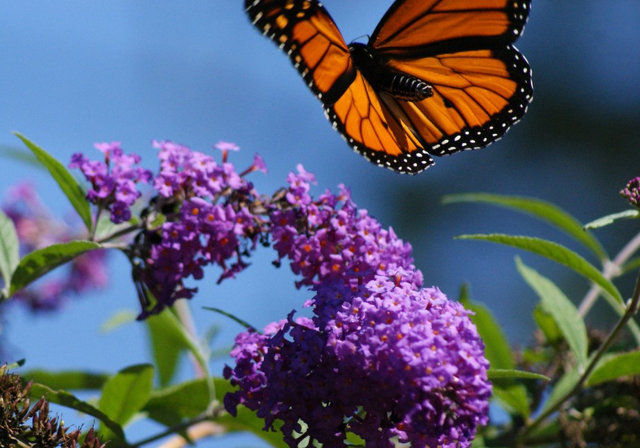 You have to react quickly when the opportunity presents itself! A monarch approaches the butterfly bush.