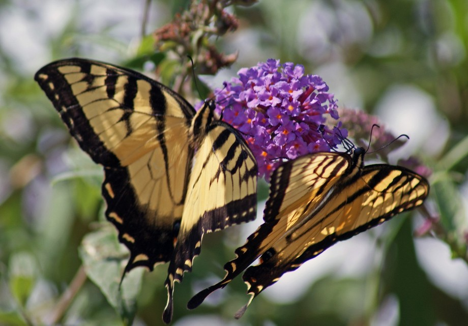 Twin Tiger Swallowtails