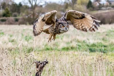 Eurasian Eagle Owl taking off