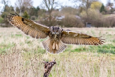 Eurasian Eagle Owl coming in to land