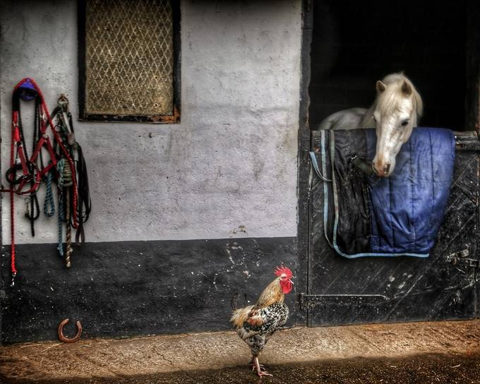 Being Heard by SteeleBirdie - Farms And Barns Animals Photo Contest