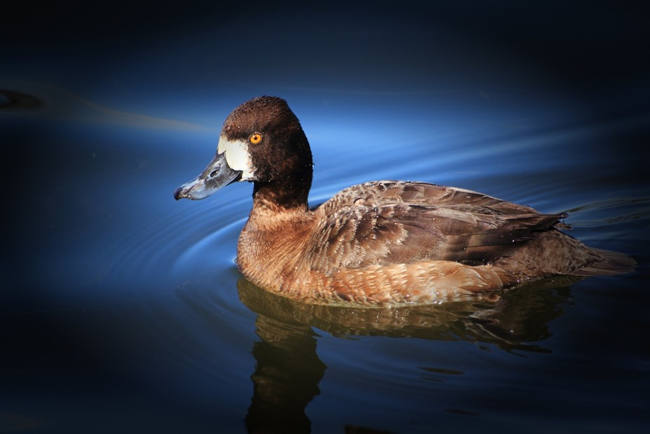 Female Lesser Scaup captured on Wintergreen Lake at the Kellogg Bird Sanctuary as they are migrat...