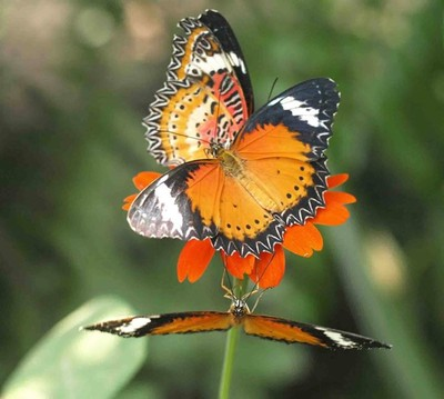 Three Leopard Lacewing Butterflies