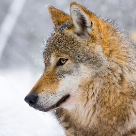 European gray wolf (Canis lupus lupus) in the snow