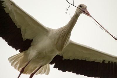 The flying stork
