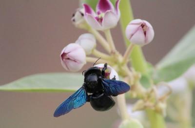 Bhanwara (Bumble bee)