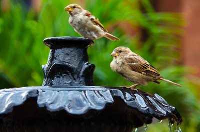 Two sparrows on a fountain drinking and bathing in water.