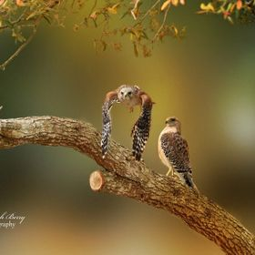 Two Red shoulder Hawks by Deborah Berry