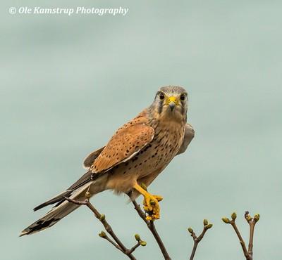 Kestrel -  Falco tinnunculus