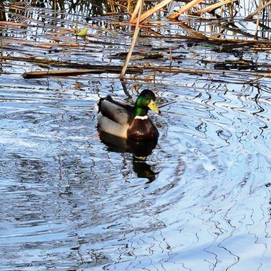 Mallard duck on Filby Broad, Norfolk, UK.
