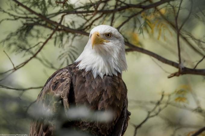'Merica  by briangreenberg - Majestic Eagles Photo Contest