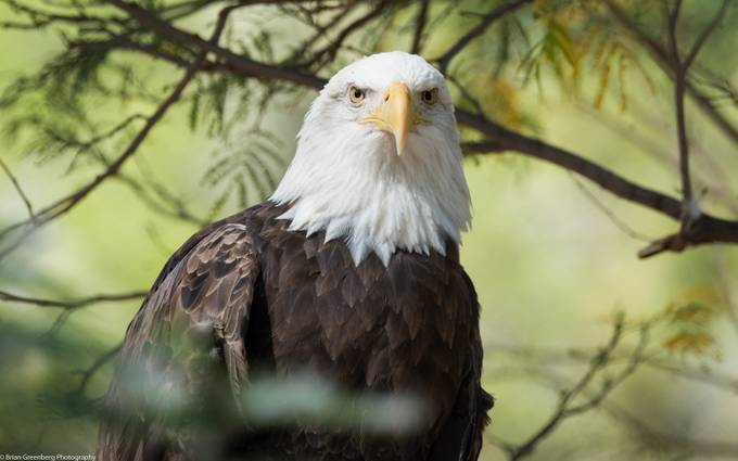 'Merica 2 by briangreenberg - Just Eagles Photo Contest