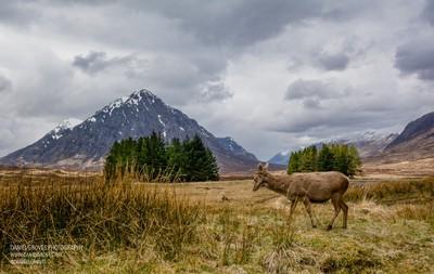 Rannoch Moor Deer