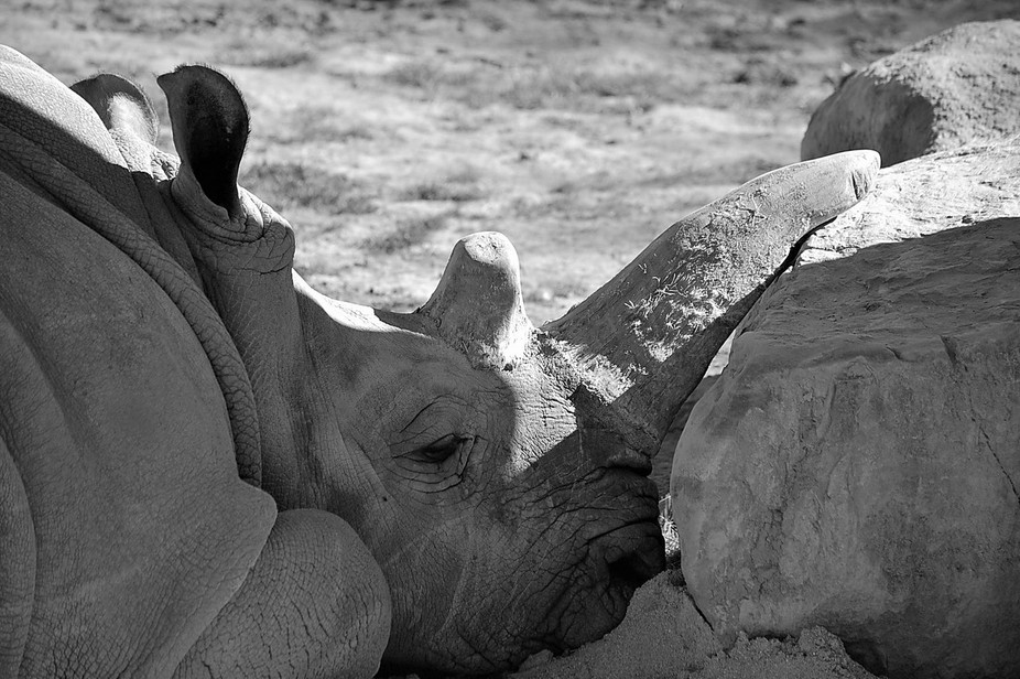 Very lucky to get this shot. This Rhino came out of his caved enclosure close to the viewing sect...