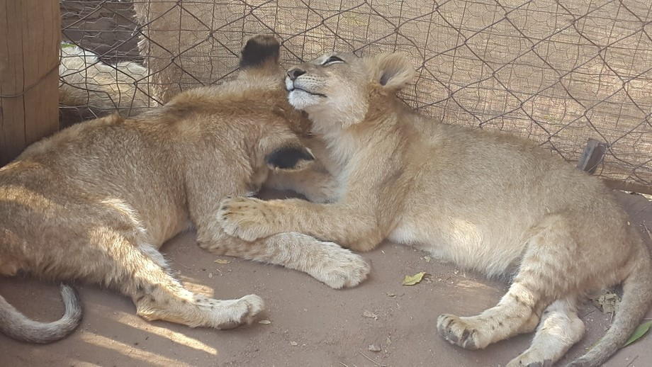 Took this at the lion park. Too cute two lion cubs.. A brother and sisyer