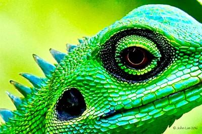 Green Crested Lizard.