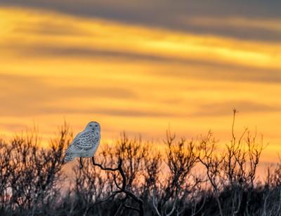 Snowy Owl Sunset