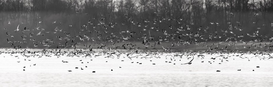 The Flock Large flock of birds, sea gulls, above a lake in the early morning mist