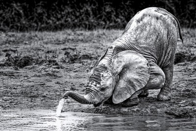 Baby Elephant master to drink water.