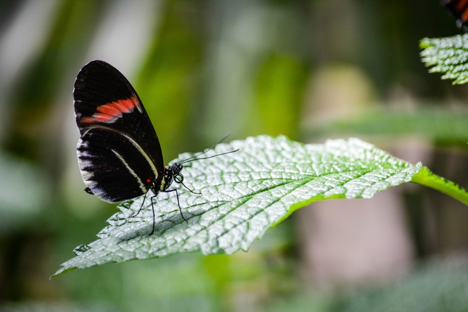 Beautiful black butterfly with red and white.