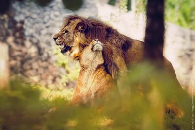 couples lions