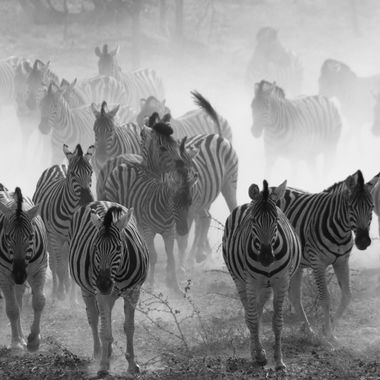 This herd of zebra in Etosha National Park, Namibia caught sight of two lions ahead of them, and turned and fled from the lions. The zebras' pounding hooves on the dry soil raised a cloud of backlit dust.