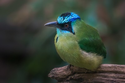 Blue Crowned Motmot