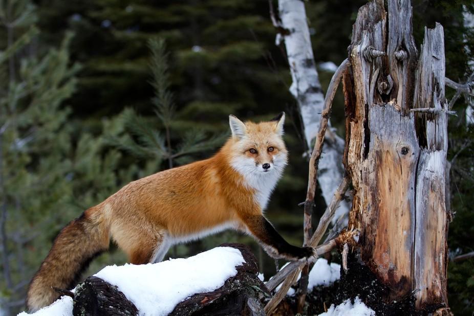 Red Fox Algonquin Park Ontario,Canada