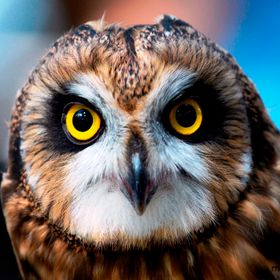 A beautiful owl with watchful eyes.