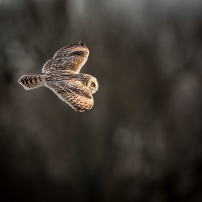 Wild Short eared owl in flight showing the feathers and structure of its wings (Asio flammeus)