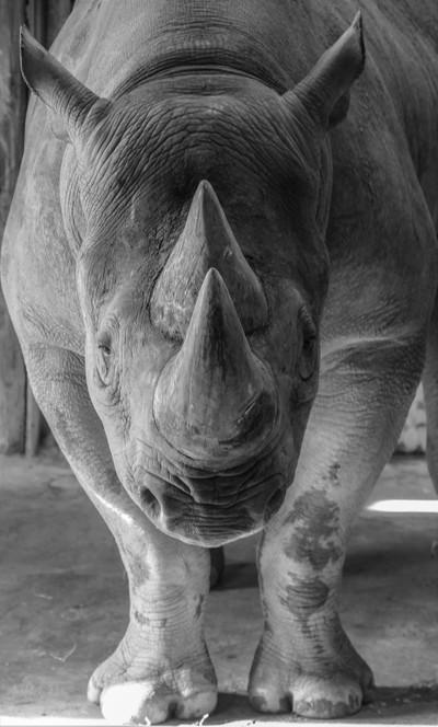 Rhino. Study in monochrome.
