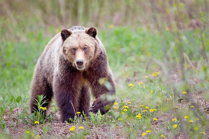 Grizzly Staredown by brandonbroderick