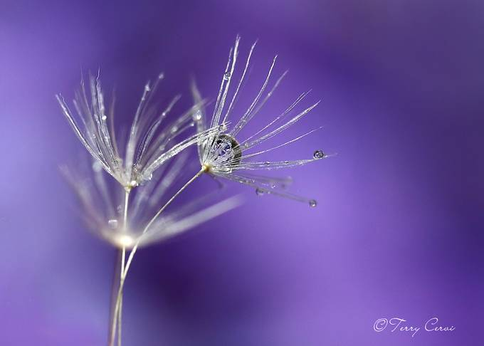 Wispy by terryc - Macro Water Drops Photo Contest