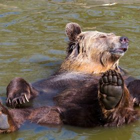 European brown bear (Ursus arctos arctos) enjoys the spring sunshine and lies supine in the water