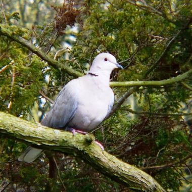 Ring Necked Dove sitting on a branch in a tree.