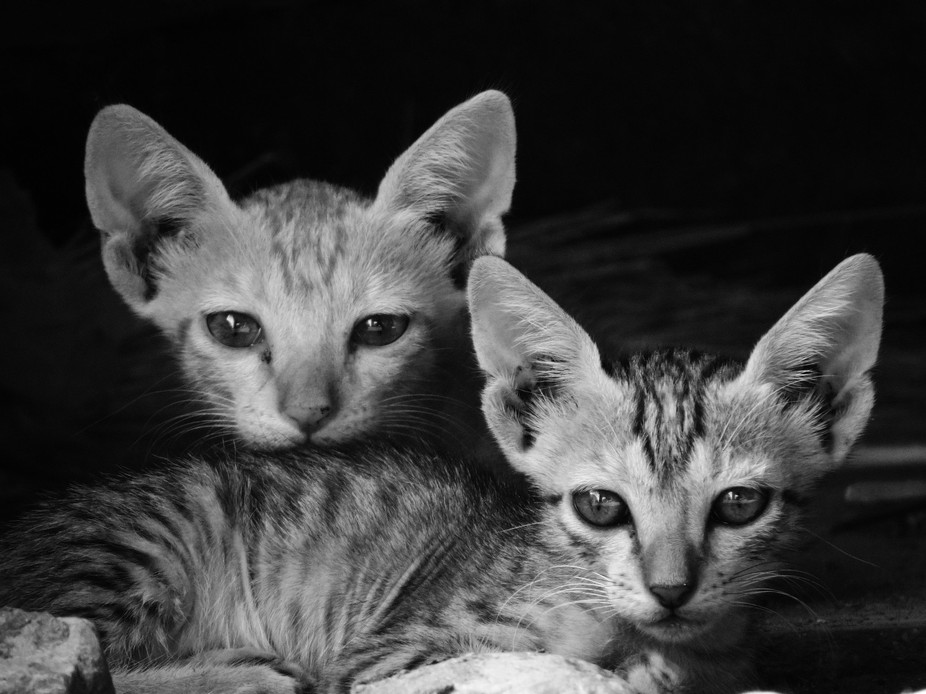 These two kittens looking curiously towards me while i am taking photo. They play together like a...
