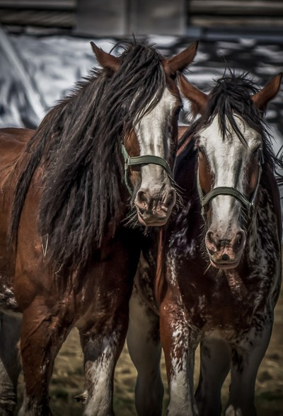 Country Horses
