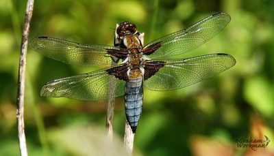 Broad -bodied Chaser