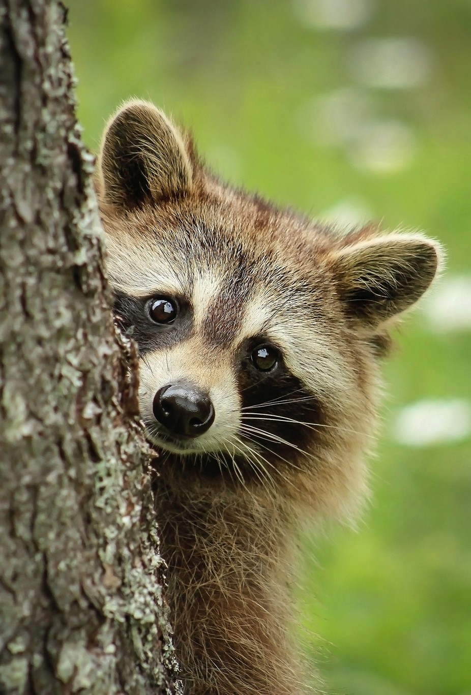 Raccoon by bkcrossman - Close Up Art Photo Contest