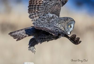Great Grey Owl_0R8A9664