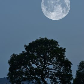 Moon rising over an old Oak tree - magic!