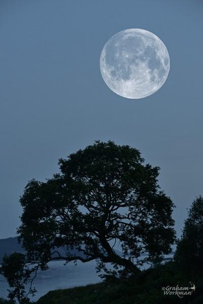 Moon rising over an old Oak tree - magic!