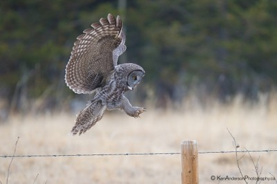 Great Gray Owl coming in for a landing