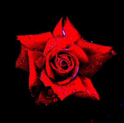 watkins_red_ roseDSC01636
