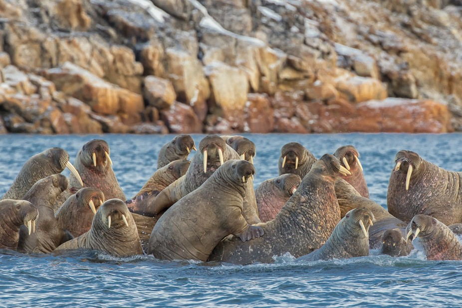 I captured this family of walrus down Frobisher bay near Iqaluit,Nunavut Canon 7Dmk2 200-400mm @4...